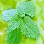 Крапива — кладезь витаминов и микроэлементов